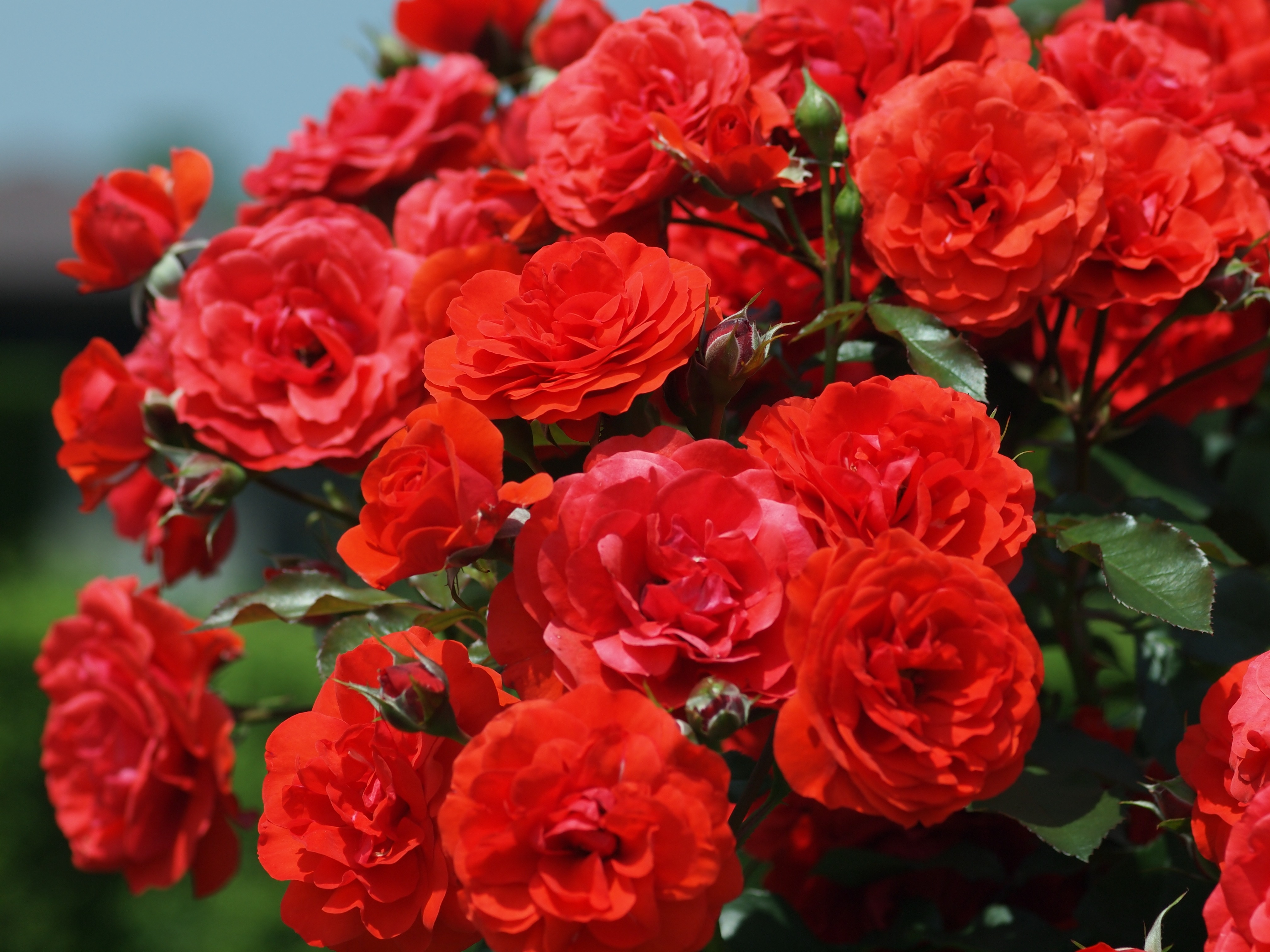 "Roses In Garden: ""The Tuzuk-i-Jahangiri"" Pp. 143-145"